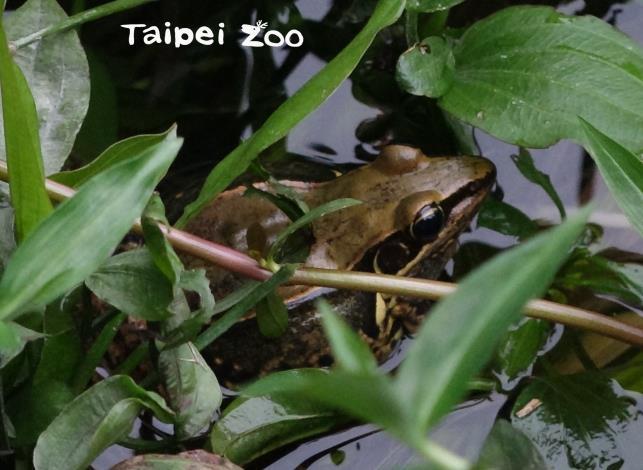 生性隱密,個性極為害羞,叫聲卻如同狗叫般「苟、苟、苟」單音的貢德氏赤蛙