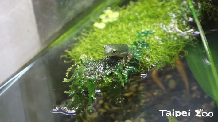 在春、夏季節繁殖,每到了交配期,蛙類們就會傾巢而出,成群遷移到水域(莫氏樹蛙)