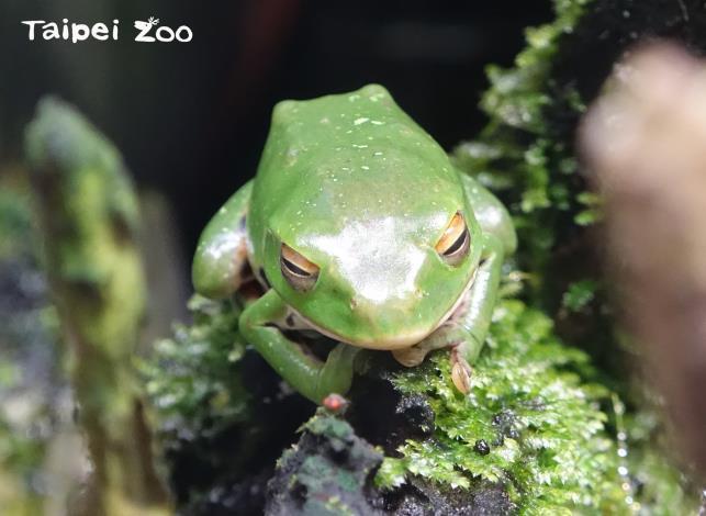 蛙類的活動時間主要在夜間,常出沒於陰暗且潮濕的地方(莫氏樹蛙)
