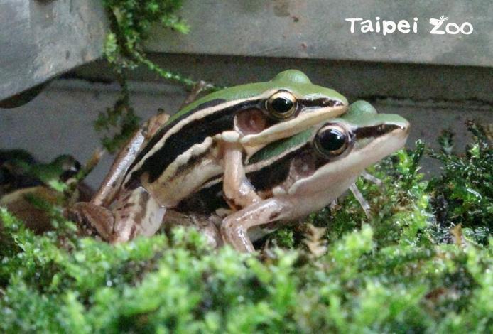 隨著夜幕低垂,雄蛙們會開始賣力地鳴叫歌唱專屬曲目,期望獲得雌蛙的青睞(臺北赤蛙)