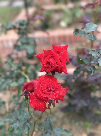 圖36.玫瑰花展