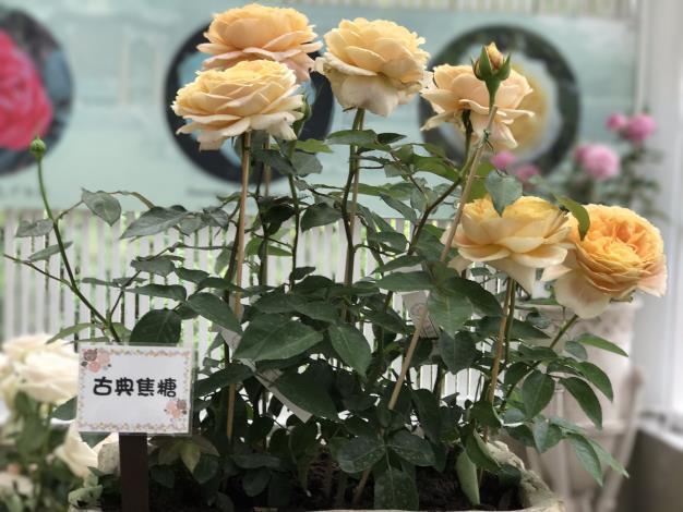 圖19.玫瑰花展