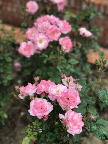 圖41.玫瑰花展