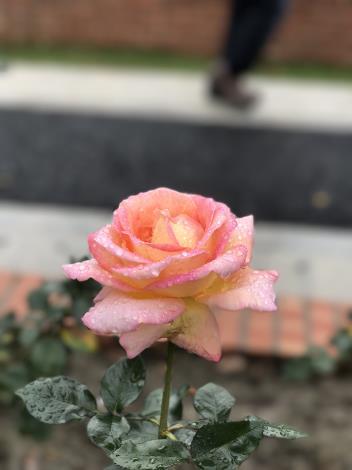 圖39.玫瑰花展