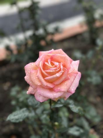 圖40.玫瑰花展