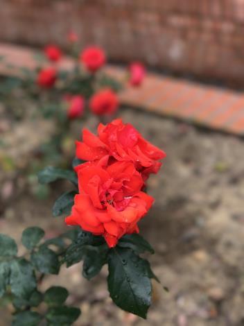 圖37.玫瑰花展