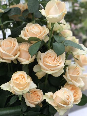 圖15.玫瑰花展