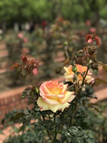 圖35.玫瑰花展