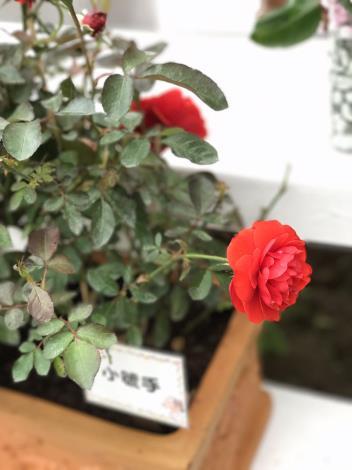 圖17.玫瑰花展