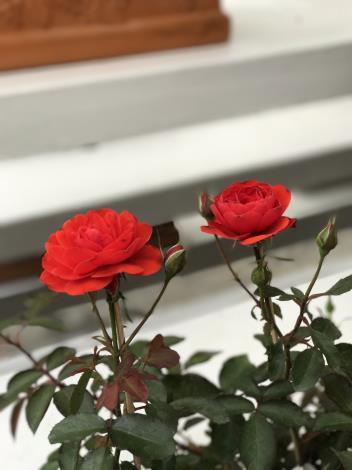 圖18.玫瑰花展