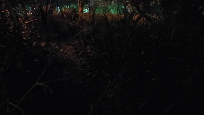 (圖1)草叢間的亮光是飛舞的黃緣螢