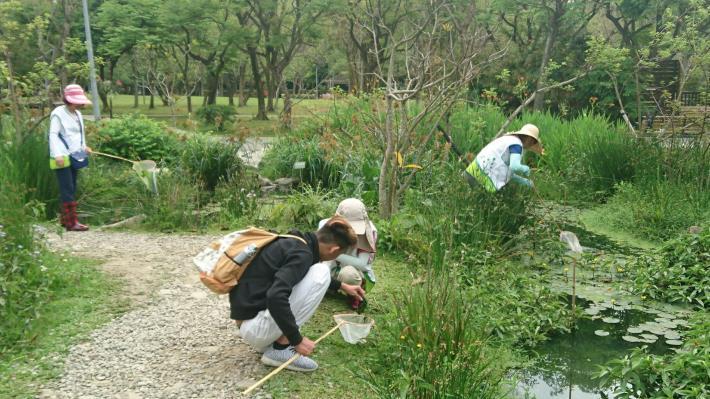 (圖6)在志工努力移除外來種,生態池中螢火蟲生長更良好