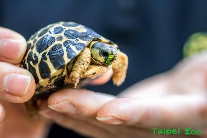 剛孵出的射紋陸龜寶寶僅27公克,長約4.1公分、寬3.7公分