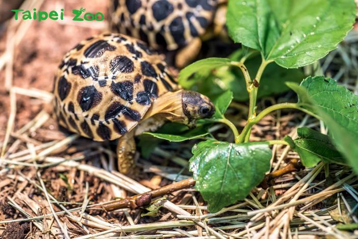 陸龜是由孵化時的溫度來決定性別
