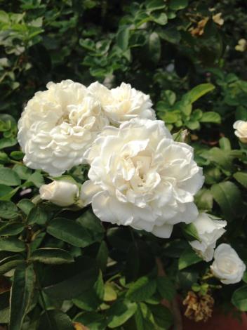 """圖4.白花""""白梅安""""玫瑰[另開新視窗]"""