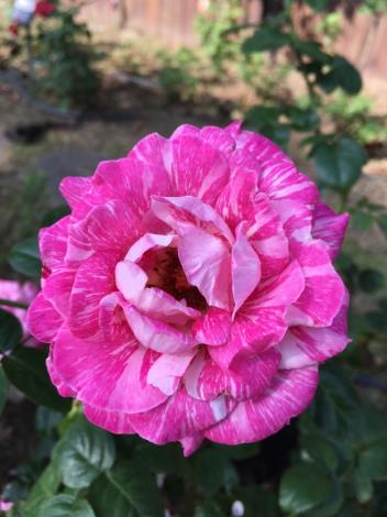 """圖1.重瓣的""""奇蹟""""玫瑰[另開新視窗]"""