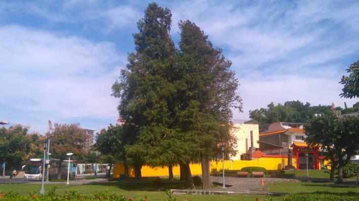 圖1、座落在圓山捷運站旁的落羽松正在華麗變色