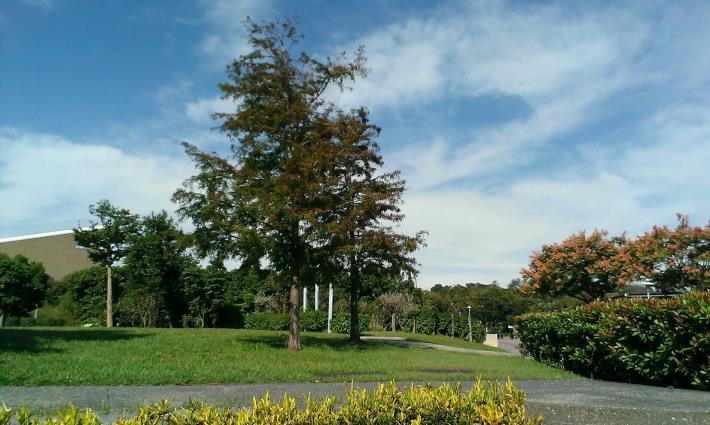 圖2、落羽松是大型喬木,樹形優美