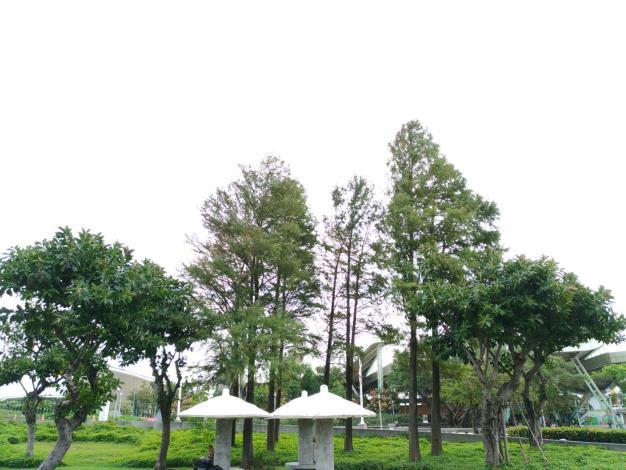 圖3、民眾可在涼亭旁欣賞落羽松的美景