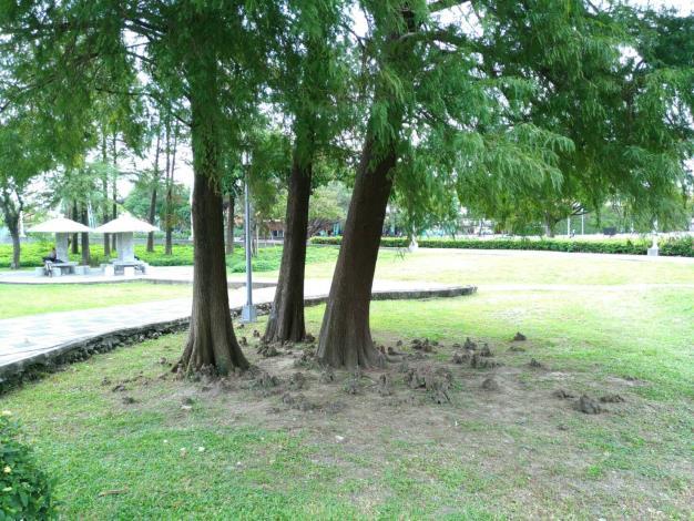 圖4、落羽松為了適應濕地環境,而演化出突出地面的呼吸根,這種氣根,又稱「膝根」