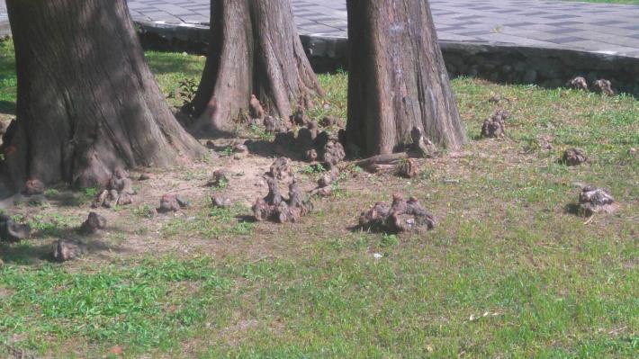 圖5、突出地面的呼吸根,布滿了樹幹四周的地面上