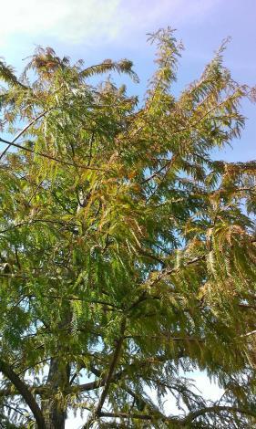 圖7、落羽松在入秋後葉片會慢慢轉至紅褐色