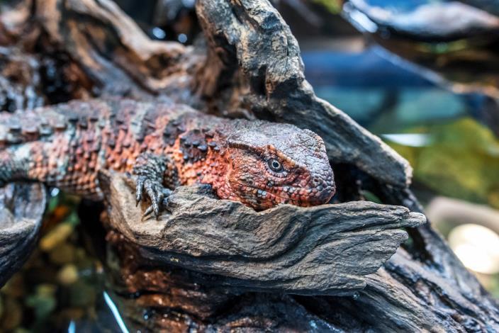 瑤山鱷蜥(中國鱷蜥)已被列為華盛頓公約二級保育類動物(CITESII)