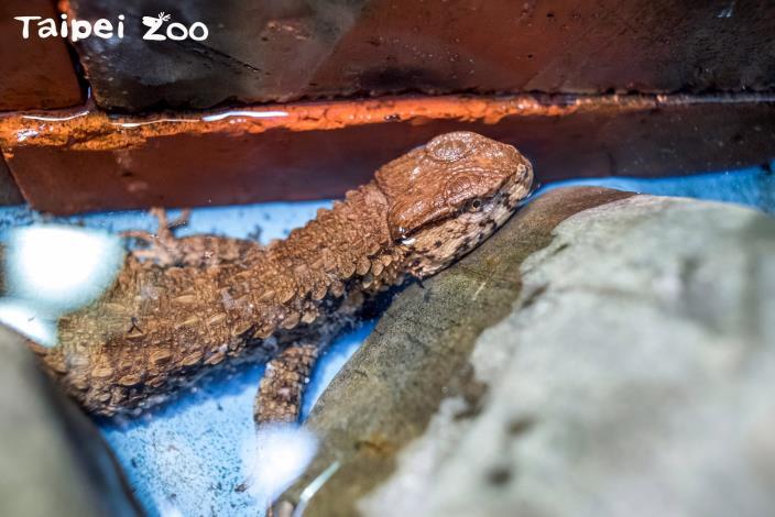 鱷蜥媽媽「小宇」順利產下9隻可愛的瑤山鱷蜥寶寶