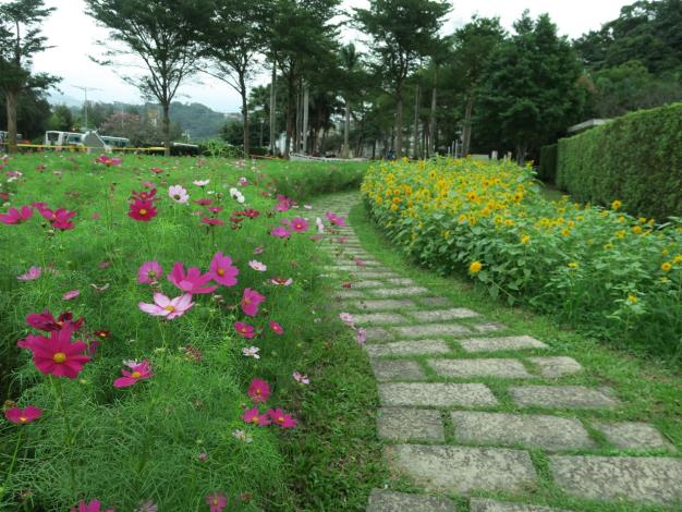 圖4.大波斯菊及向日葵於菊展現場迎風搖曳[開啟新連結]