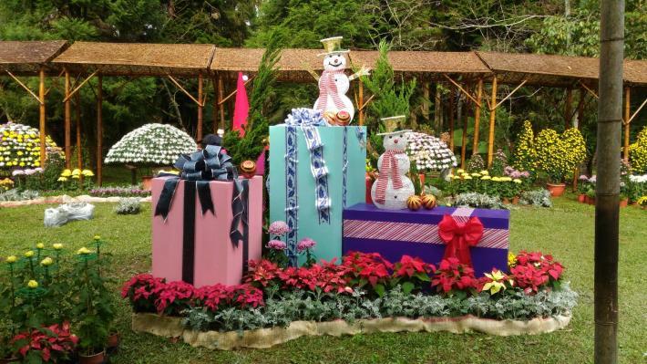 圖2. 臺北、溪頭大立菊聯展呈現濃郁耶誕氛圍[開啟新連結]