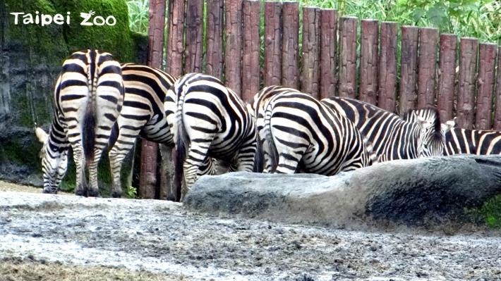 查普曼斑馬群聚在避風處取暖