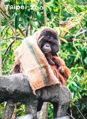 紅毛猩猩披上麻布袋禦寒