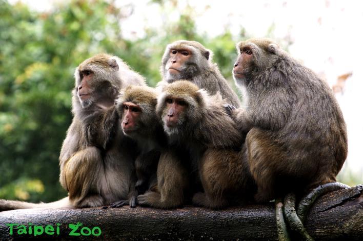 臺灣獼猴抱在一起取暖