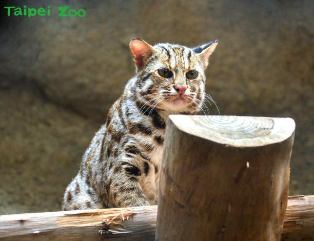 喜愛「集寶」的民眾,這個週末假期記得到臺灣動物區,和「集寶」互道一聲珍重再見!