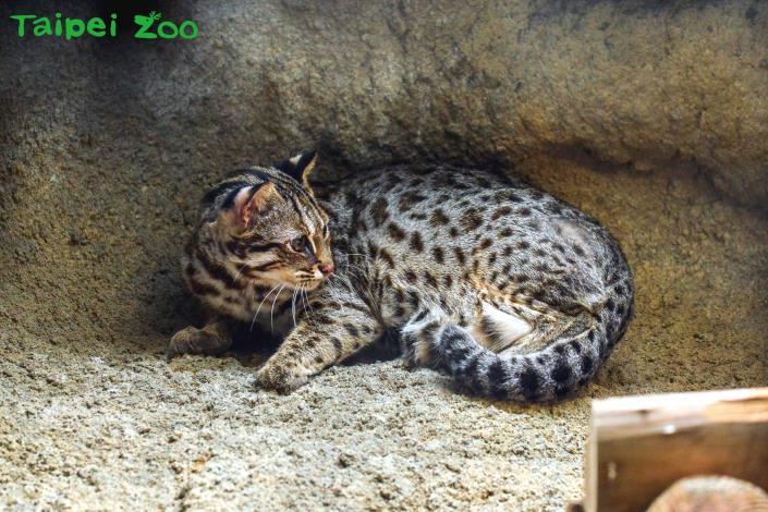 石虎的外形酷似虎斑貓(「集寶」)
