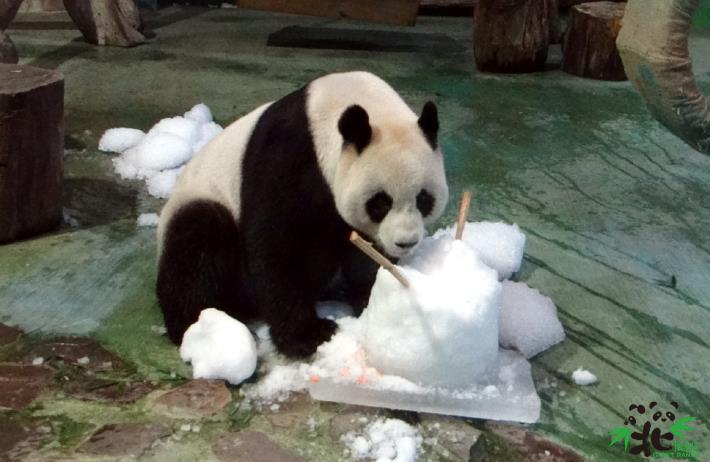 大貓熊「圓圓」抱著水果冰吃得津津有味呢!