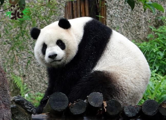 大貓熊家族只有趁著天氣轉涼才能輪流到戶外活動場溜搭(圓仔)