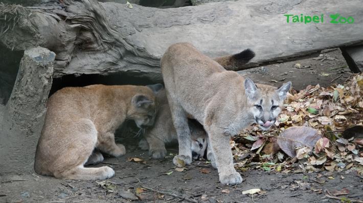 山獅在冬季來臨前換上厚厚的毛皮,減少熱源的散失[開啟新連結]