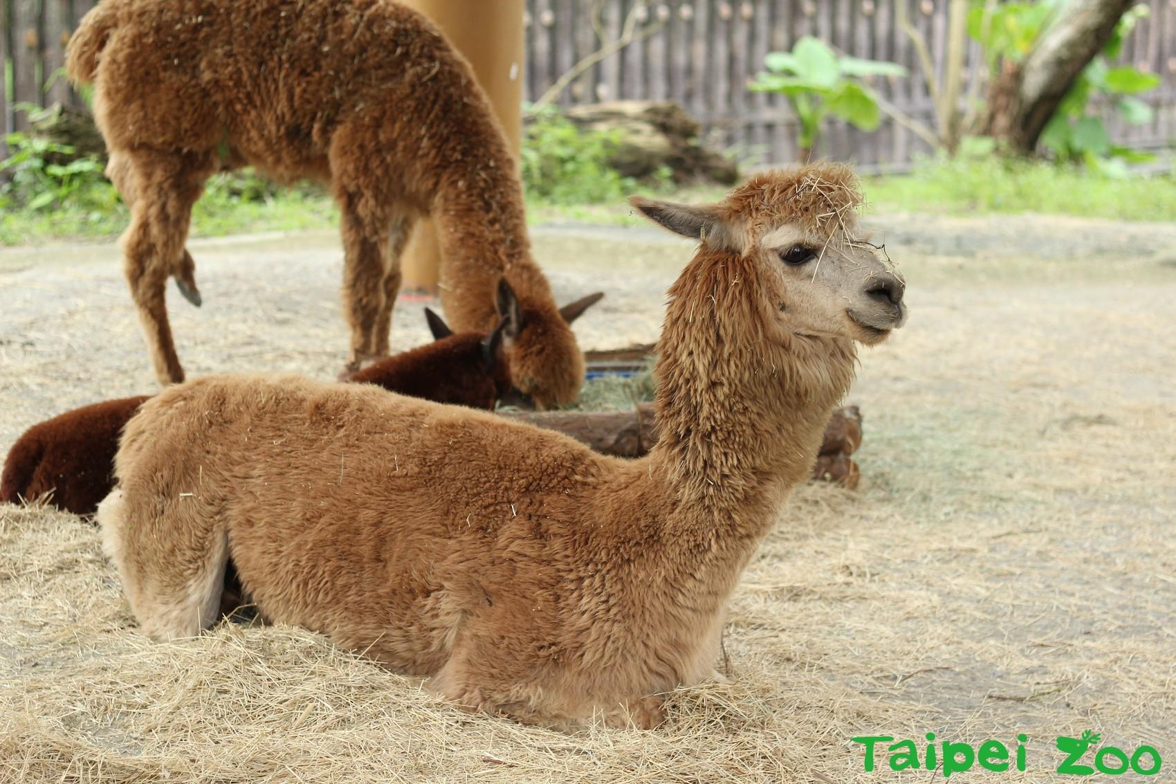 不論時令怎麼變換,羊駝身上的毛只會不斷長長