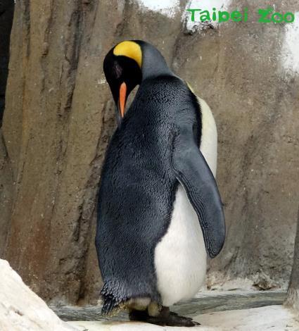 在野外國王企鵝會在入冬前努力的進食,好累積身上的脂肪