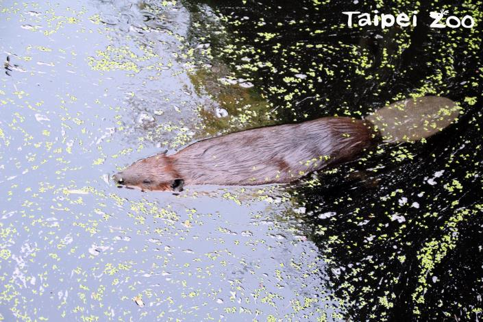 河狸泡在「冷吱吱」的水中依然面不改色