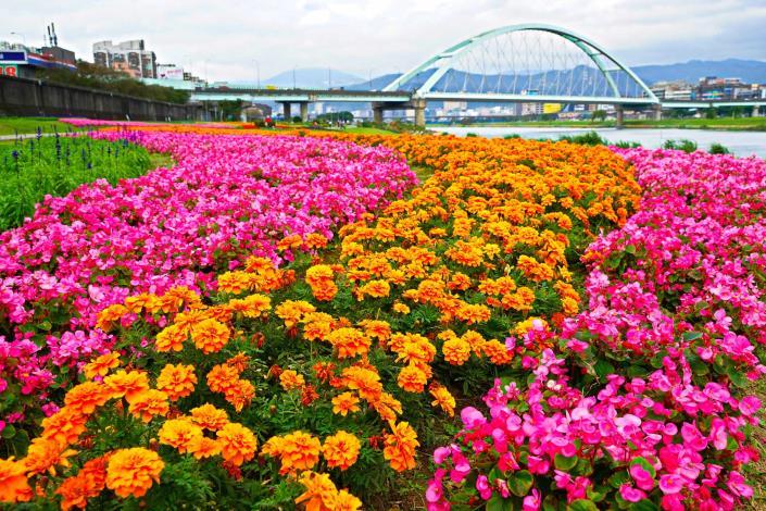 觀賞期倒數中 北市河濱限定美景 絕美花海盛開中