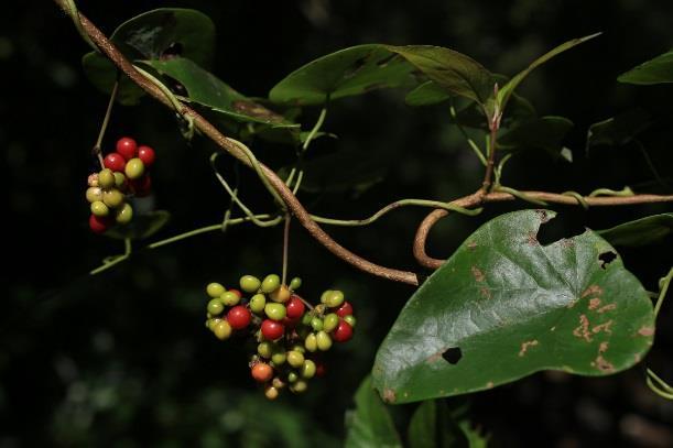 2千金藤,常綠性爬藤,高掛於樹上,成串的果實由綠轉紅[開啟新連結]