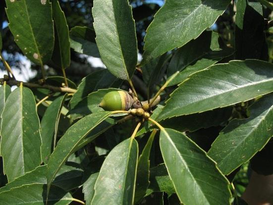 3.青剛櫟,低海拔最常見的殼斗科喬木,果實是松鼠的最愛[開啟新連結]