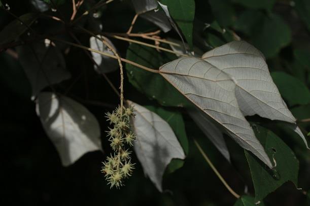 5.白匏子,大戟科喬木,生長快速,葉背白色,果皮灰色,密被軟刺[開啟新連結]