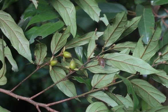 6.軟毛柿,一種有毛的野生柿子,果實小而無肉,成熟時褐黑色,有澀味[開啟新連結]