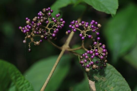 9.杜虹花,這一類的植物有很多種,為大型灌木,果實直徑約0.3公分,成熟時紫色[開啟新連結]