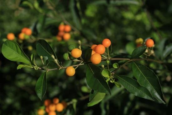 10.瑪瑙珠,茄科的小灌木,成熟的果實橘黃色,一年四季可見,但不可誤食[開啟新連結]