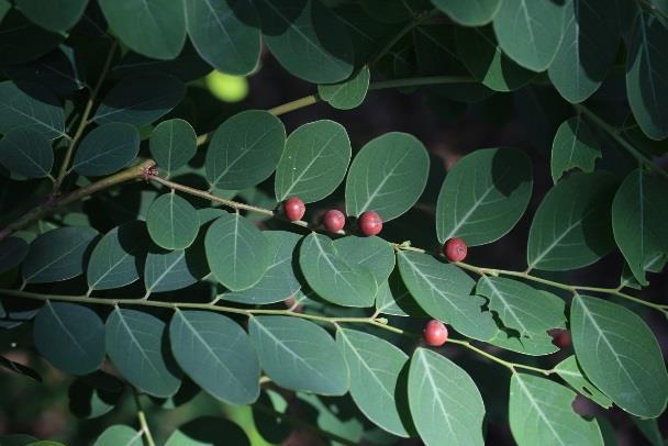 13.紅仔珠,大戟科的常綠大型灌木,成熟的果實為紅色,令人驚艷[開啟新連結]