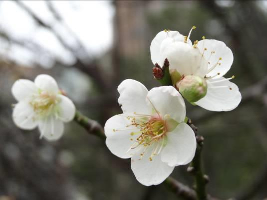 清香淡雅的梅花